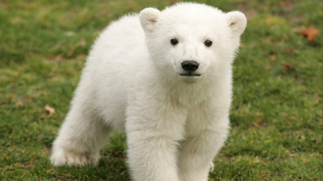 Cuteness Alert Baby Polar Bear Takes First Steps Outside