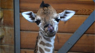 Watch: April the giraffe still not in labor but 'in the home stretch