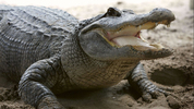 An alligator trapper in Florida helped pull a large gator, like the one pictured here, from a residenial sewer in Tampa.