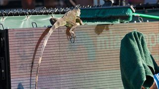 WATCH: Iguana stops tennis match at Miami Open