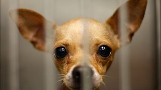 Climbing chihuahua attempts daring escape art Denver shelter
