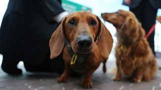 Nearly 50 dachshunds rescued, looking for forever homes