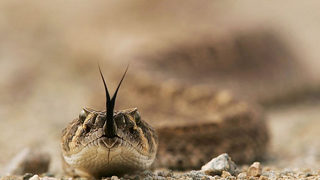 Increase in rattlesnake attack on dogs, Texas vets report