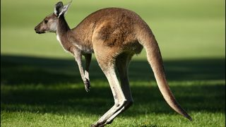 Video of man walking kangaroo on leash in Detroit goes viral