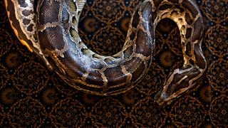 Missing man found dead inside 23-foot python: reports