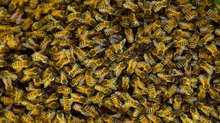 50,000 bees found in 9-foot long beehive under roof of AZ home