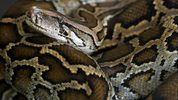 The Burmese pythonis native to southern- and Southeast Asia but is an invasive species in Florida.