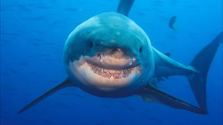 Katharine the great white shark lurking in waters off central Florida coast
