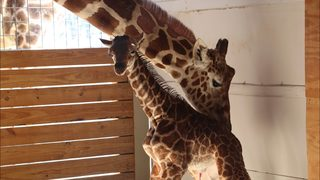 April the giraffe webcam coming back; Calf