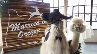 You can now rent dressed up llamas to attend your wedding