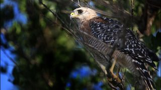 Hawk attacks prompt residents in central Florida to duck and run