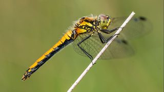 Female dragonflies play dead to avoid amorous males