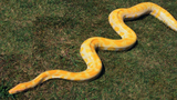 Missing Python Finds His Way Home After Two Weeks