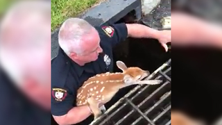 WATCH: Officer Rescues Baby Deer Trapped In Storm Grate