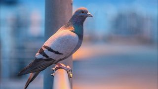 Customs officials capture pigeon wearing drug-filled backpack
