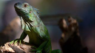 Iguana foils robbery at Indiana pet spa