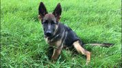 A Michigan family claims their neighbor intentionally poisoned their 5-month old German Shepherd puppy (not pictured).