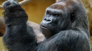 Watch: Zola the gorilla dancing like a'Maniac