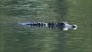 Gator chases Florida man trying to take photo