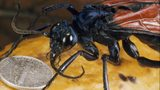 A dime shows just how big the colorful tarantula hawk wasp is. The wasp is known for, besides eating tarantulas, its excruciatingly painful sting.