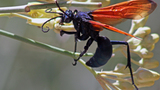 What You Didn't Know about the Tarantula Hawk