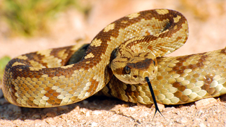 Barbecue rattlesnake sounded good, but it landed man in hospital for 2 weeks