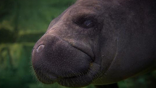 Famous Florida manatee, Snooty, oldest on record, killed in freak…