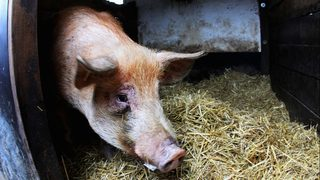 3-year-old Alabama girl injured when pig attacks her in yard