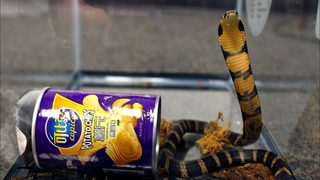 Man accused of smuggling deadly cobras into U.S. inside potato chip cans