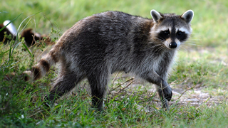 Interactive map: 2016/2017 Rabies cases in Central Florida