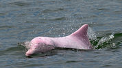 A pink dolphin, similar to the one seen in a Louisiana shipping channel, is pictured here. This dolphin is a Chinese white dolphin or Indo-Pacific humpback dolphin, nicknamed the pink.