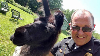 Llama bolts onto golf course to save ducks from bear