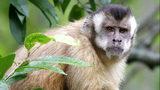 A Capuchin monkey is pictured. AP Photo/Alan Diaz
