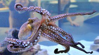 Octopuses aren