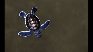 WATCH: Thousands of sea turtles rescued after Hurricane Irma, released…