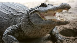 Monster alligator is catch of a lifetime for Louisiana fisherman