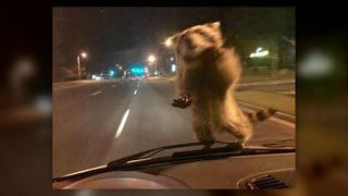 Raccoon Hitches Ride On Policeman