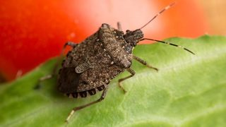 Stink bugs are back; here