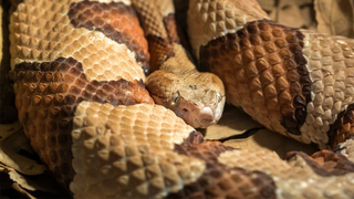 Copperhead snake bites woman inside Longhorn Steakhouse