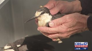 Hurricane Irma: Birds typically from Caribbean found in rough shape in…