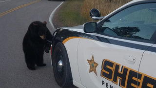 Bear cubs break out of park, sheriff
