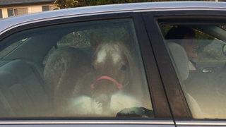 Pony Escapes California Wildfires In Honda Accord