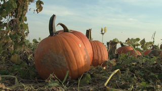 Trip to pumpkin patch leaves woman with painful infection from tick bite