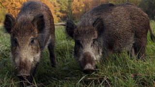 Man kills 416-pound wild boar in front yard of suburban Houston home
