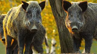Man Kills 416 Pound Boar In Houston Yard