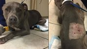 Mary Jane, A 3-year-old American Pit Bull Terrier, is being treated for puncture wounds suffered when she was attacked by three bears in the Big Cypress Indian Reservation.