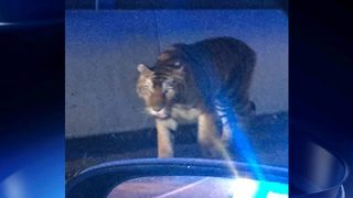 Feds to investigate escape of tiger found prowling metro on Georgia interstate