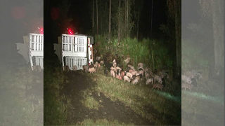 Tractor-trailer crash leaves pigs wandering Florida interstate
