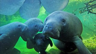 WATCH: Manatees caught on video huddling together to stay warm