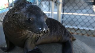 California swimmer hospitalized after sea lion bites him on the arm